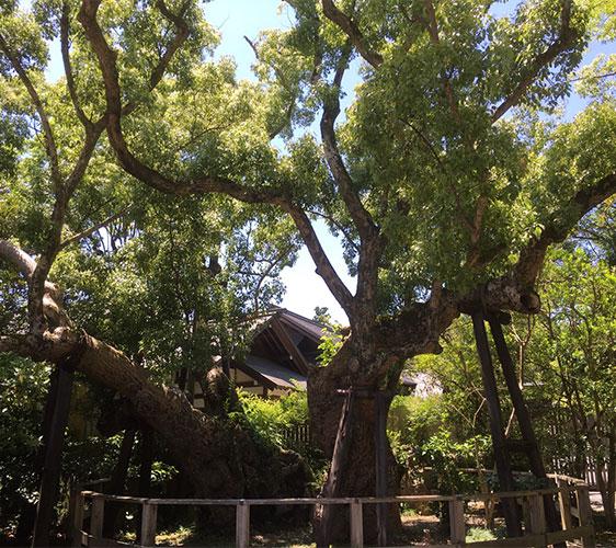 從一分為二的巨木「清盛楠」。