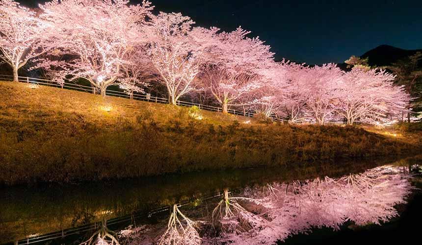 京都「美山茅草屋之鄉」沿著美山川沿岸盛開的春之櫻