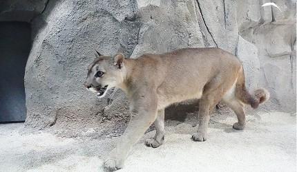 日本關西神戶必去景點「神戶動物王國」的岩之谷的美洲獅