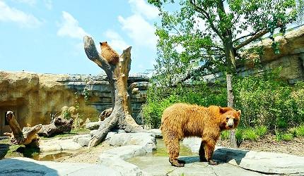 日本關西神戶必去景點「神戶動物王國」的岩之谷的美洲黑熊