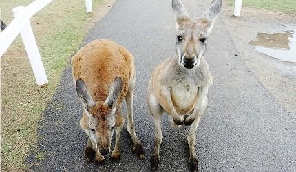 日本關西神戶必去景點「神戶動物王國」的袋鼠豆藏