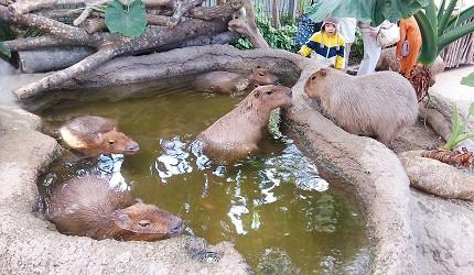 日本關西神戶必去景點「神戶動物王國」的人氣王水豚君群集