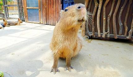 日本關西神戶必去景點「神戶動物王國」的人氣王水豚君
