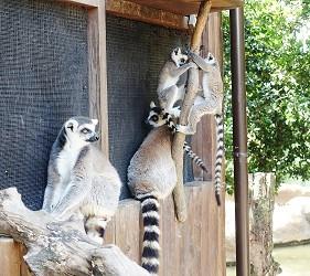 日本關西神戶必去景點「神戶動物王國」的環尾狐猴