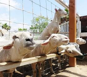 日本關西神戶必去景點「神戶動物王國」的小綿羊