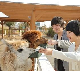 日本關西神戶必去景點「神戶動物王國」的羊駝
