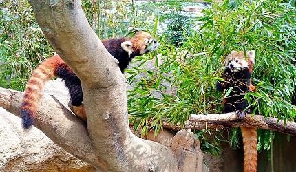 日本關西神戶必去景點「神戶動物王國」的人氣王好動寶寶小貓熊