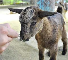 大阪近郊必去複合式動物遊樂園「岬公園」(みさき公園)裡的動物樂園的小山羊