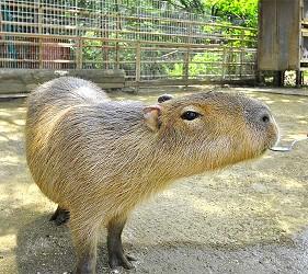 大阪近郊必去複合式動物遊樂園「岬公園」(みさき公園)裡的動物樂園的水豚君