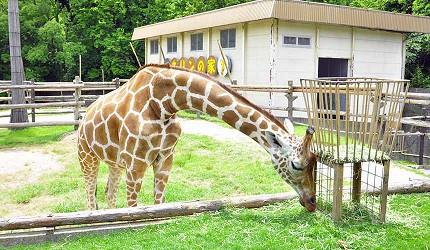 大阪近郊必去複合式動物遊樂園「岬公園」(みさき公園)裡的長頸鹿