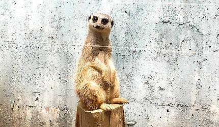 大阪近郊必去複合式動物遊樂園「岬公園」(みさき公園)裡的小巧可愛的狐獴