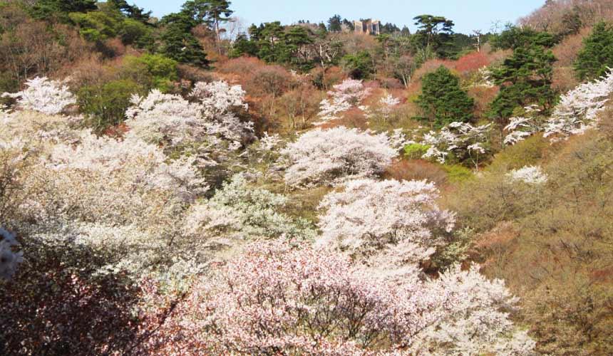 天鵝座列車可以看見櫻谷美景