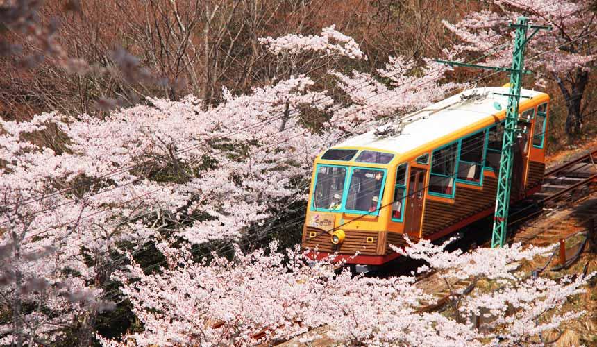 櫻花季搭乘妙見森林鐵道小火車,兩旁皆是櫻花