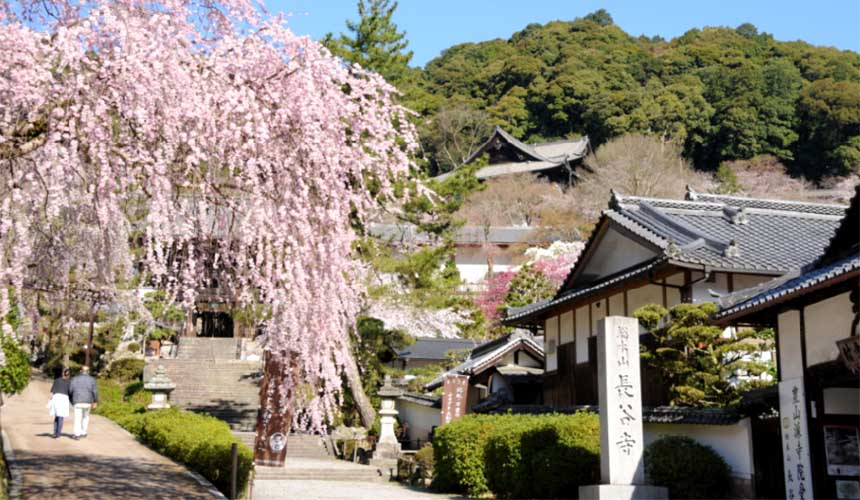 奈良櫻井市的大和國長谷寺春天櫻花