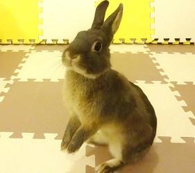 兔子cafeうさゆ內的兔仔站起來了