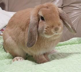 兔子cafeうさゆ內的肥兔仔
