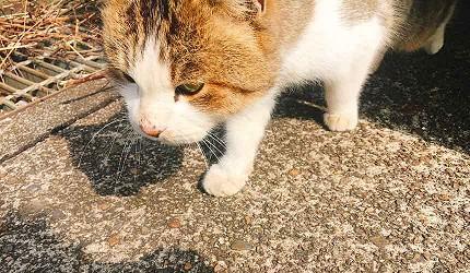 貓之島「沖島」的貓咪