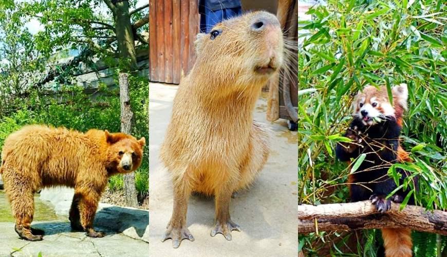 日本關西神戶必去景點「神戶動物王國」!巨星水豚君和人氣小貓熊的超近距離接觸