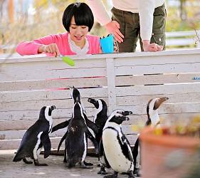 日本關西神戶必去景點「神戶動物王國」的企鵝