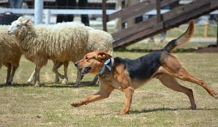 日本關西神戶必去景點「神戶動物王國」的狗兒特技表演趕羊