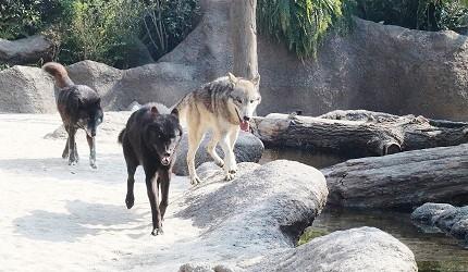 日本關西神戶必去景點「神戶動物王國」的岩之谷的帥氣野狼