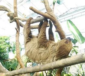 日本關西神戶必去景點「神戶動物王國」的樹懶