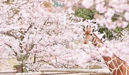 大阪近郊必去複合式動物遊樂園「岬公園」(みさき公園)是賞櫻季櫻花與長頸鹿