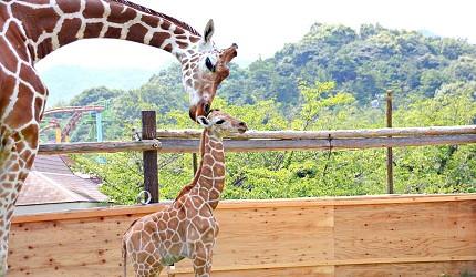 大阪近郊必去複合式動物遊樂園「岬公園」(みさき公園)裡的長頸鹿和長頸鹿寶寶