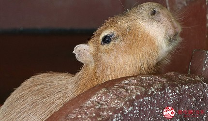 大阪推薦親子遊樂園「枚方公園」的小型動物園「どうぶつハグハグたうん」的水豚