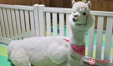 大阪推薦親子遊樂園「枚方公園」的小型動物園「どうぶつハグハグたうん」的草泥馬