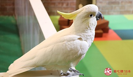 大阪推薦親子遊樂園「枚方公園」的小型動物園「どうぶつハグハグたうん」的貓頭鷹