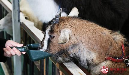 大阪推薦親子遊樂園「枚方公園」的小型動物園「どうぶつハグハグたうん」的山羊
