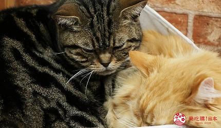 大阪推薦親子遊樂園「枚方公園」的小型動物園「どうぶつハグハグたうん」的貓