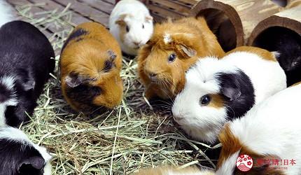 日本關西神戶必去推薦景點「神戶動物王國」的天竺鼠