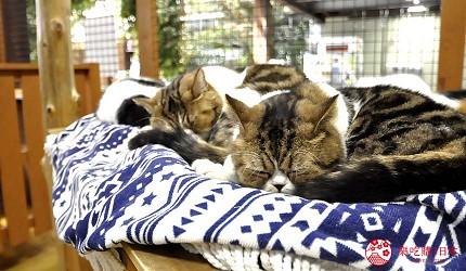 日本關西神戶必去推薦景點「神戶動物王國」的貓咪