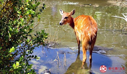 日本關西神戶必去推薦景點「神戶動物王國」的澤羚