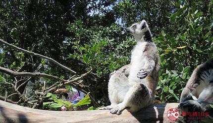 日本關西神戶必去推薦景點「神戶動物王國」的環尾狐猴