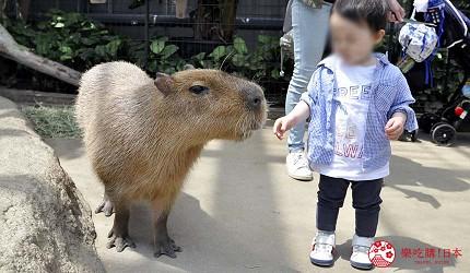 日本關西神戶必去推薦景點「神戶動物王國」的水豚近照