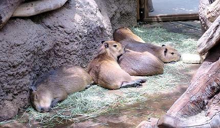 日本關西神戶必去推薦景點「神戶動物王國」的水豚寶寶