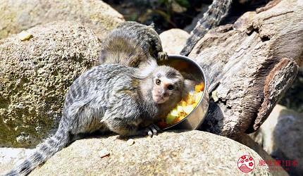 日本關西神戶必去推薦景點「神戶動物王國」的白耳狨猴