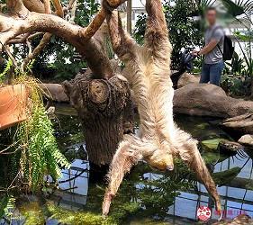 日本關西神戶必去推薦景點「神戶動物王國」的樹懶爬樹