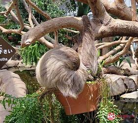 日本關西神戶必去推薦景點「神戶動物王國」的樹懶在睡覺