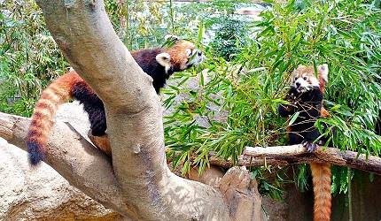 日本關西神戶必去推薦景點「神戶動物王國」的小貓熊