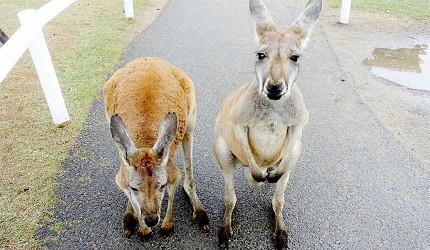 日本關西神戶必去推薦景點「神戶動物王國」的袋鼠
