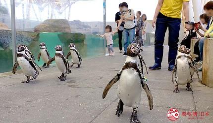 城崎日和山溫泉旅館「金波樓」的周邊景點「城崎 MARINE WORLD」裡的企鵝散步