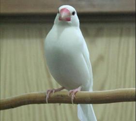 小鳥雀鳥cafeとりみカフェ的白雀