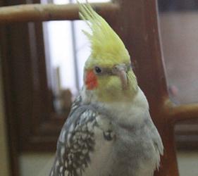 小鳥雀鳥cafeとりみカフェ的黃毛頭雀