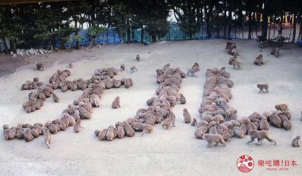 关西自由行「淡路岛」环岛一日游行程推荐景点「淡路岛猴子中心」的猴子群