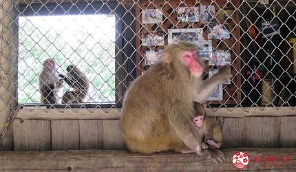 关西自由行「淡路岛」环岛一日游行程推荐景点「淡路岛猴子中心」的猴子妈妈与小猴子