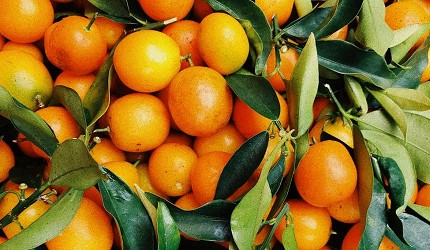 日本新年的傳統習俗食物及擺設中的鏡餅擺設中的蜜柑
